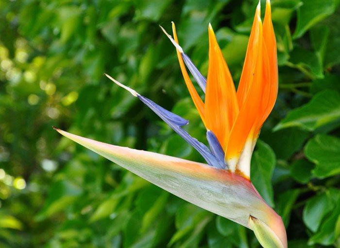 Flores de Strelitzia reginae