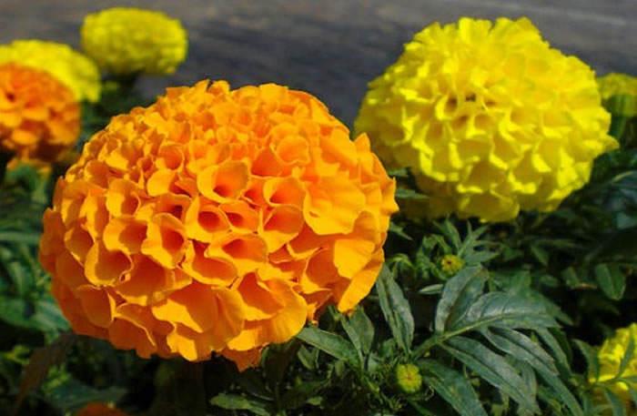 flores tagete erecta