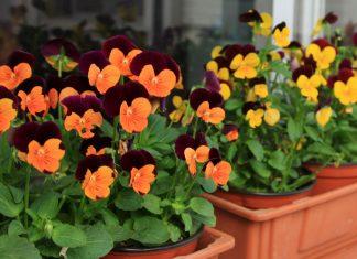Flores de Viola cornuta