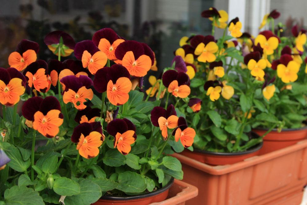Las Violas en jardinería - Revista de Flores, Plantas, Jardinería ...