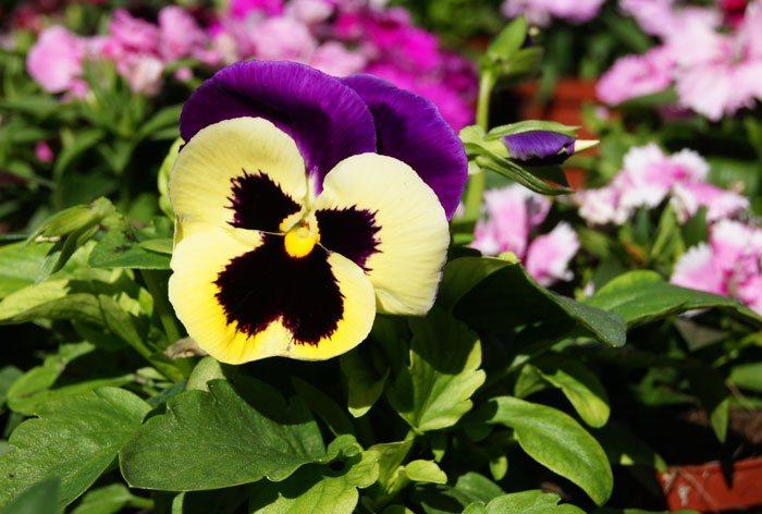 Flores de Viola wittrockiana