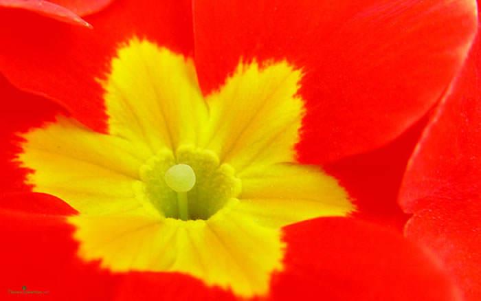 fondo pantallas flores primula