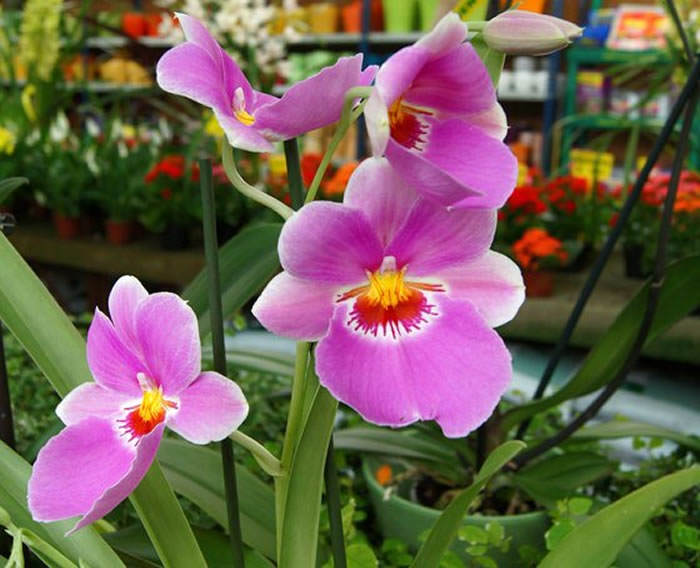 fotografias de flores de miltonia