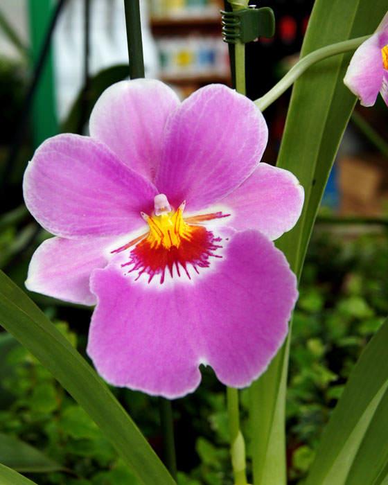 Fotos de flores de Miltonia