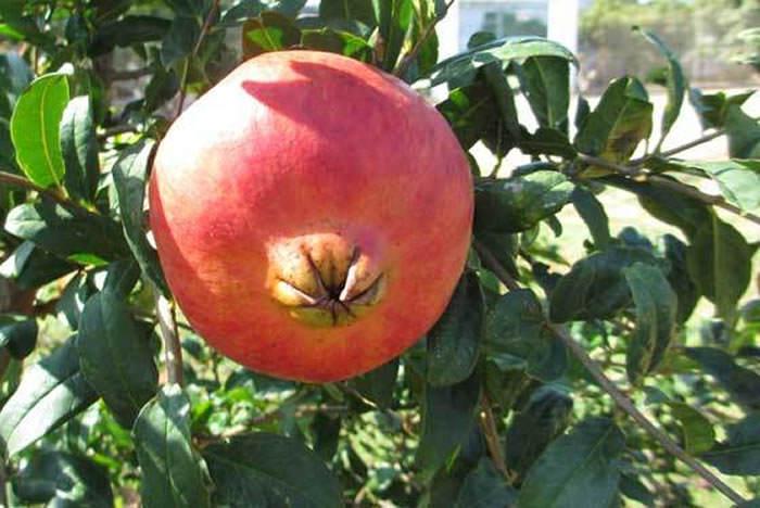 fruto de granado1