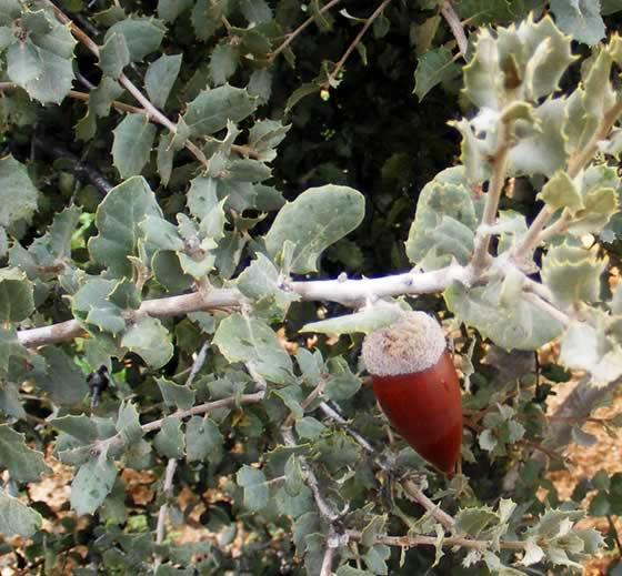 Catálogo de flora autóctona Fruto-de-quercus-ilex