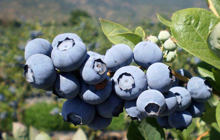 Frutos de arandano azules