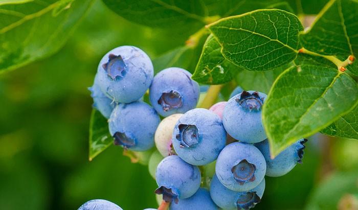 Frutos de arandano