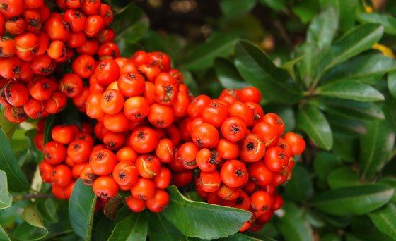 Frutos de Cotoneaster rojo