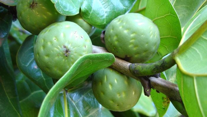 Frutos del Ficus lyrata