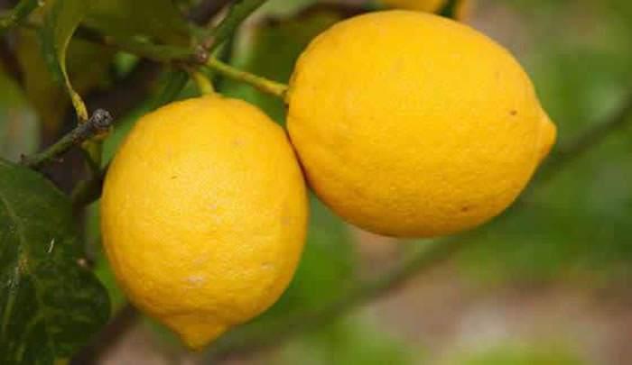 frutos de limones