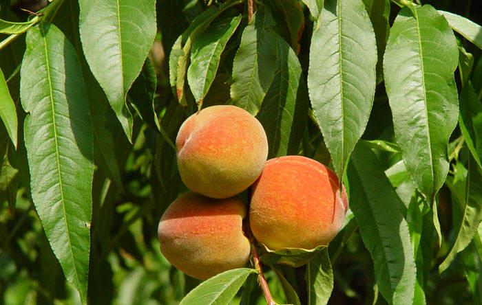 Frutos de melocotonero