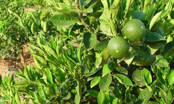 Frutos de naranjas verdes