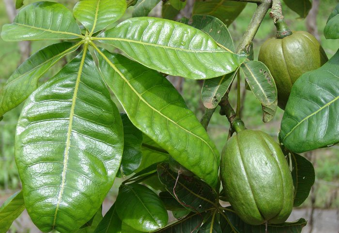Frutos de Pachira aquatica