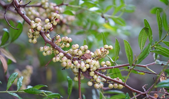 Frutos de Pistacea lentiscus