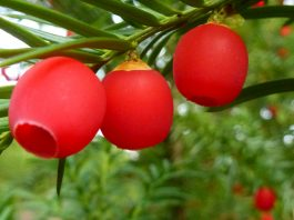 Frutos de Taxus baccata