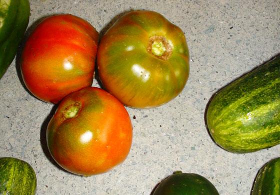 Frutos de tomates para consumo en fresco