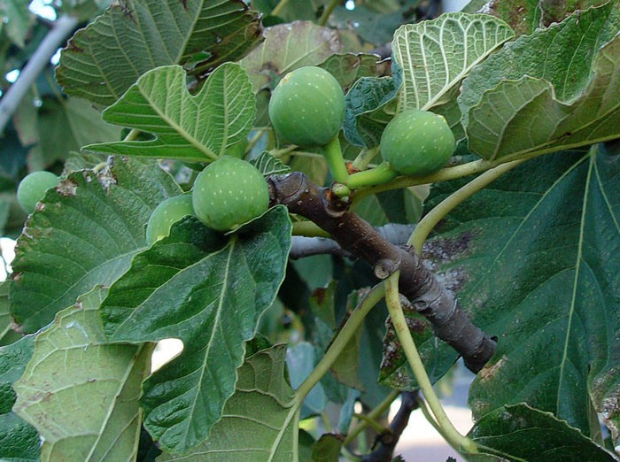 Frutos de Ficus carica