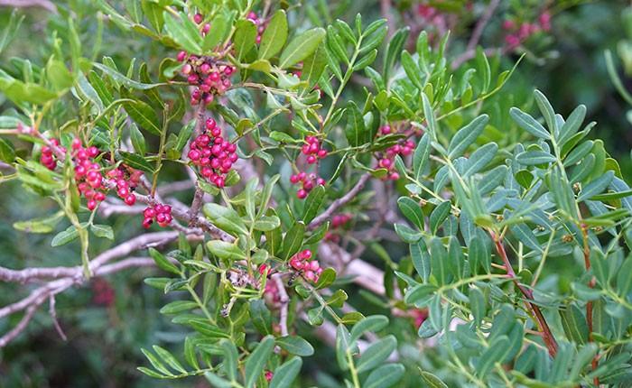 Frutos maduros de Pistacea lentiscus