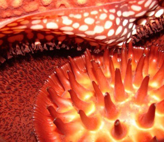 Macro de la flor de Rafflesia arnoldii