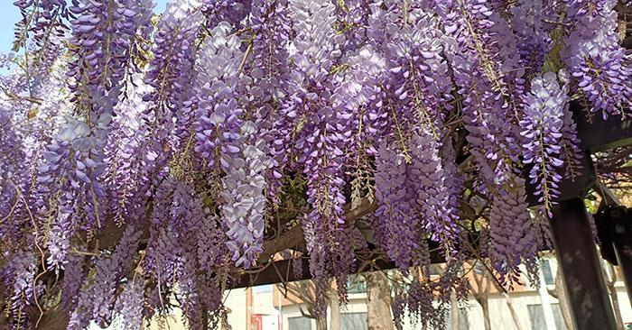 Glicinias en flor