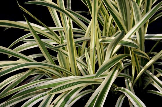 Glyceria maxima variegata como planta acuática
