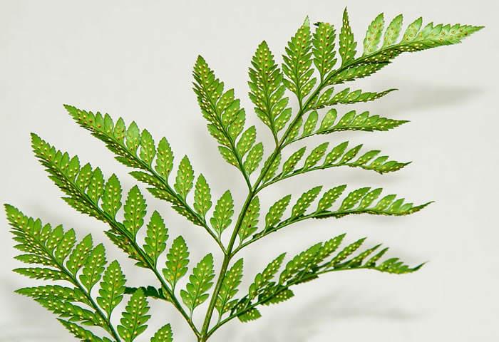 el helecho hoja de cuero es una de las plantas ornamentales utilizadas