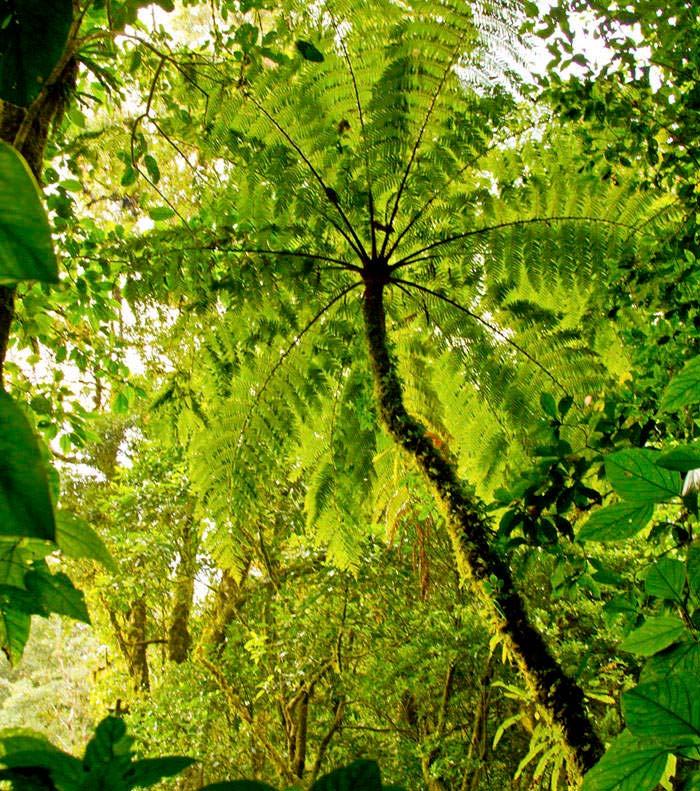 Helechos arborescentes for Arboles altos para jardin