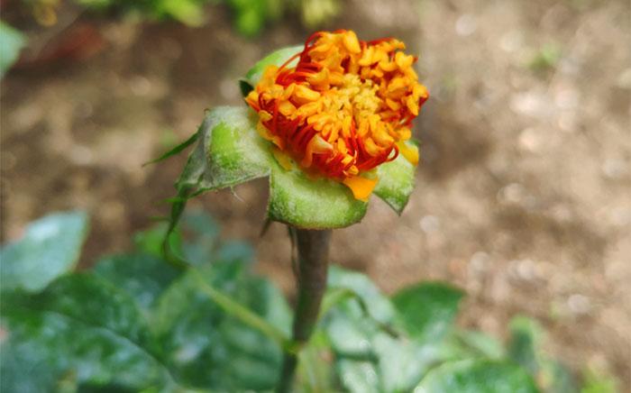 Hibridación de rosales