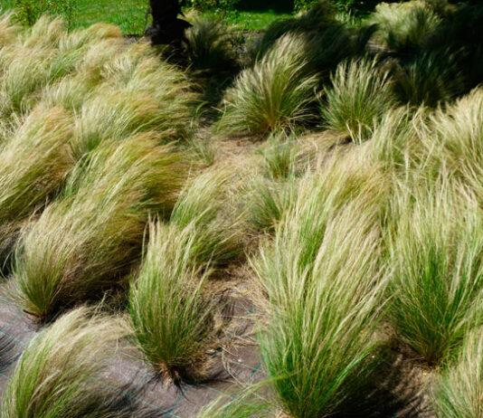 Hierbas ornamentales en jardinería