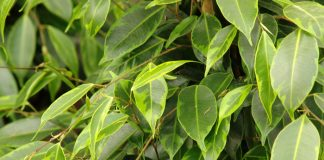 Hojas de Ficus benjamina