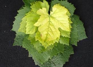 Carencias en hojas de vid