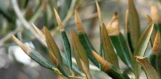 Hojas de olivo afectadas por la Xylella fastidiosa