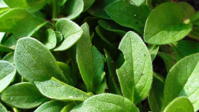 Hojas de Petunia hybrida