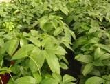 hojas de schefflera actinophylla