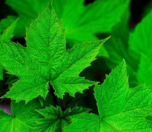 Hojas realizando la fotosíntesis