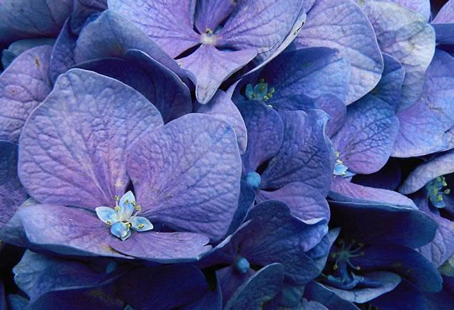 Flores de hortensias azules - Como cuidar una hortensia de exterior ...