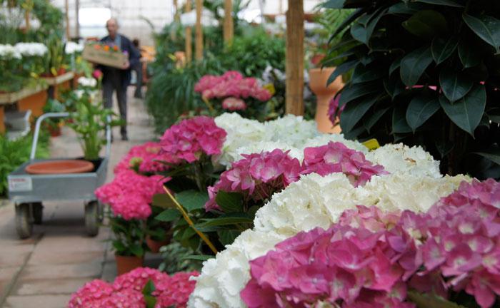 Hortensias en flor