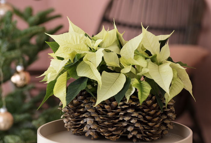 Ideas para decorar con poinsettias