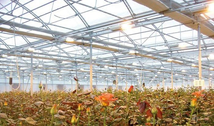 iluminacion fotoperiodo cultivo rosas