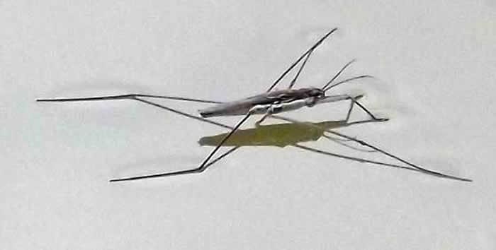 insecto zapatero