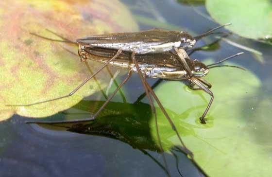 Gerris lacustris, el insecto zapatero