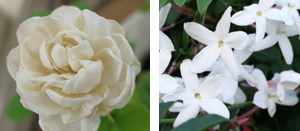 Rosas damascena y centifolia