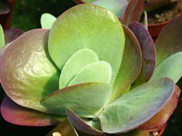 kalanchoe thyrsiflora bryophyllum thyrsiflora