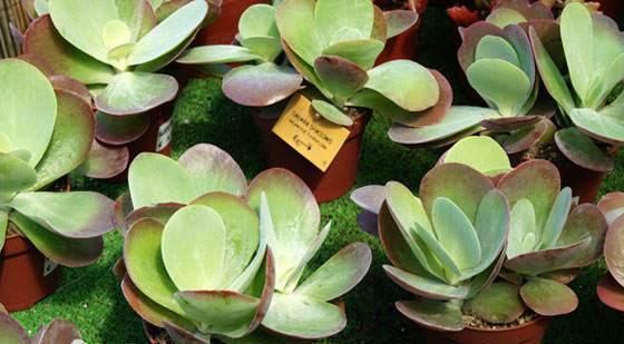 Kalanchoe thyrsiflora o Bryophyllum thyrsiflora