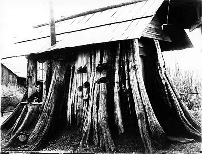 Darius Kinsey - Cedar stump house, 1901