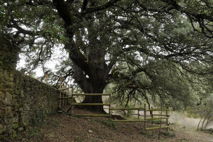 La Carrasca de Lecina, árbol del año en España 2021