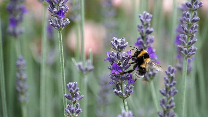 La abeja y la Lavanda