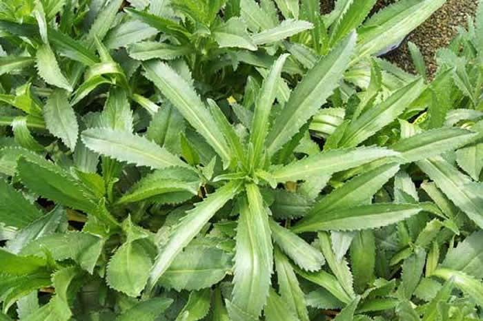 Planta de Leucanthemum maximum
