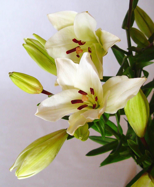 Lilium asiatico blanco